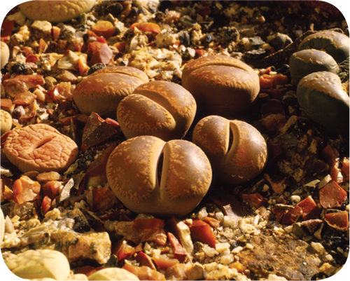 Photograph of a lithops plant, a type of succulent