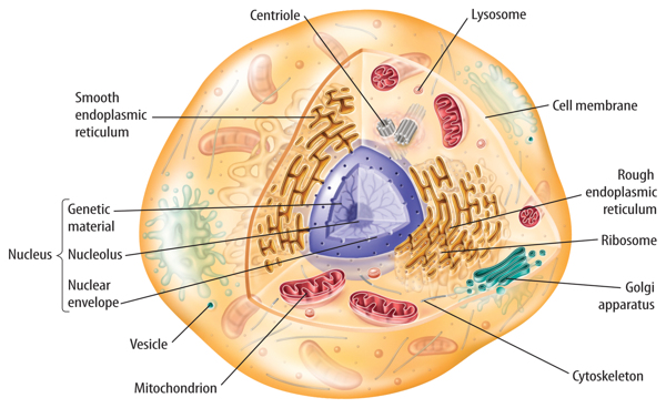 Cytoskeleton In Animal Cell
