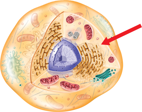 Illustration of an animal cell with an arrow pointing to the fluid in the cell
