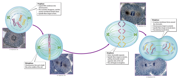 Prion Diseases Powerpoint together with Phacus Torta Tortuosa moreover Mammoth together with F Medium besides Journal Iridium work. on marsh nuclei
