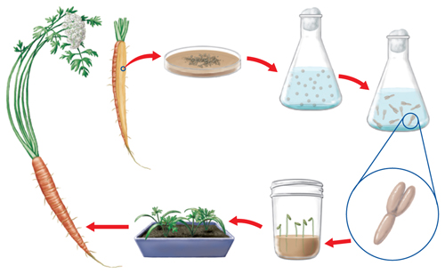 Flowchart illustrating plant cloning