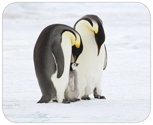 Photograph of a male and female penguin and their chick
