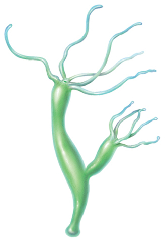 Illustration of a hydra with offspring growing off its side