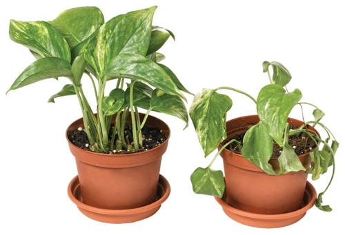 Photograph of two potted plants; the plant on the left has full, healthy leaves, and the plant on the right is wilted