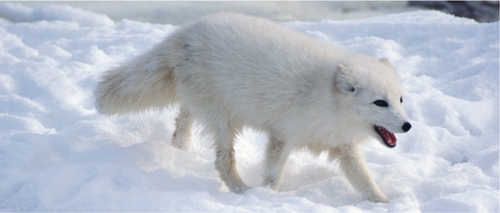 Photograph of a white Arctic fox walking in snow