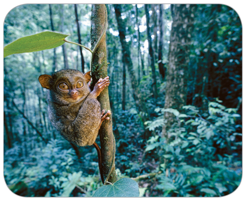 Photograph of a western tarsier clinging to a tree