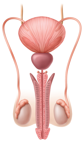 Illustration of the male reproductive system