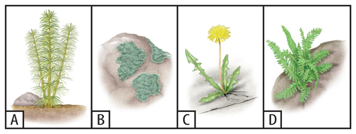 Four illustrations of vegetation: A) grasses, B) lichens, C) dandelion, D) ferns