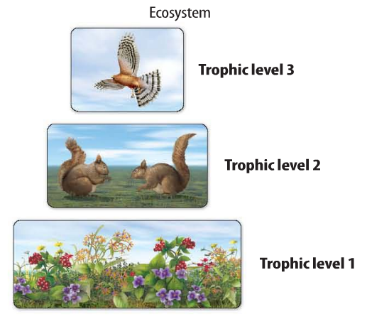 Illustration of an energy pyramid showing a hawk (top), two squirrels (center), and flowering plants (bottom) to show the different trophic levels.